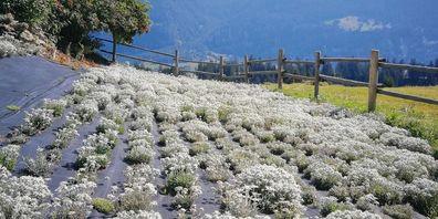 Edelweiss (Plantage eines Lieferanten der Parsenn Produkte AG)  und Swissness haben es den Chinesen angetan.