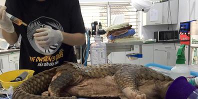 HANDOUT - Das Schuppentier wird operiert. Tierschützer haben in Vietnam ein Schuppentier mit 13 kleinen Schrotkugeln im Körper gerettet. Foto: Save Vietnam's Wildlife/dpa - ACHTUNG: Nur zur redaktionellen Verwendung im Zusammenhang mit der aktuell...