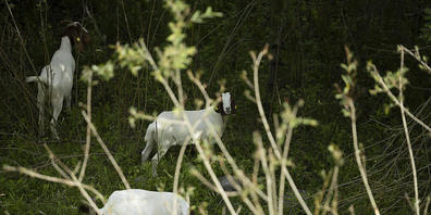 Die in Urnäsch AR gerissene Ziege war nicht durch Herdenschutzmassnahmen geschützt. (Symbolbild)