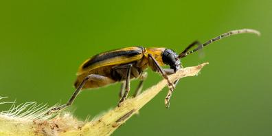In Wollerau wurde ein Maiswurzelbohrer entdeckt.