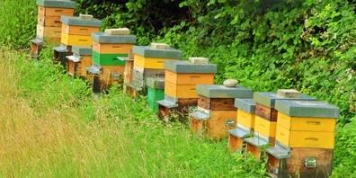 Der Wildgarten in Kaltbrunn bietet gute Nahrungsgrundlagen für Wild- und Honigbienen.
