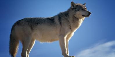 Vermutlicher Wolfsriss in Vorderthal: Am gestern gerissenen Schaf wurden DNA-Proben genommen.