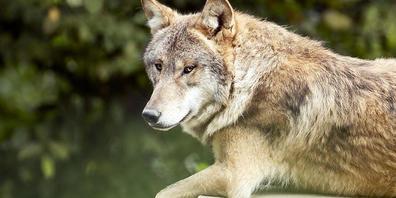 Ein Wolf lebt in den jurassischen Wäldern (Symbolbild).