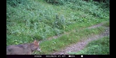 Der Wolf tappt an zwei verschiedenen Tagen Ende August bei Wattwil in eine Fotofalle.