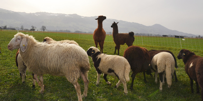 Aufmerksame Beobachter: Die lamas beschützen die Schafe.