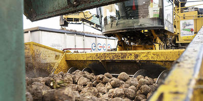 Energie aus Altholz wird künftig in der Zuckerfabrik Aarberg dafür sorgen, dass aus den Rüben Zucker gewonnen werden kann.