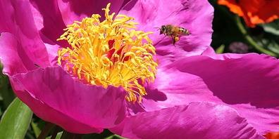 Wer Bienen schützen will, verwendet im Hausgarten keine Pestizide.
