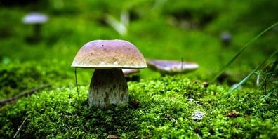 Am 22. August 2021 beginnt für die Pilzsammlerinnen und  Pilzsammler die Hauptsaison.