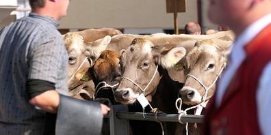 Die Rinder waren für einmal die Stars des Tages